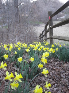 fence lines with daffodils